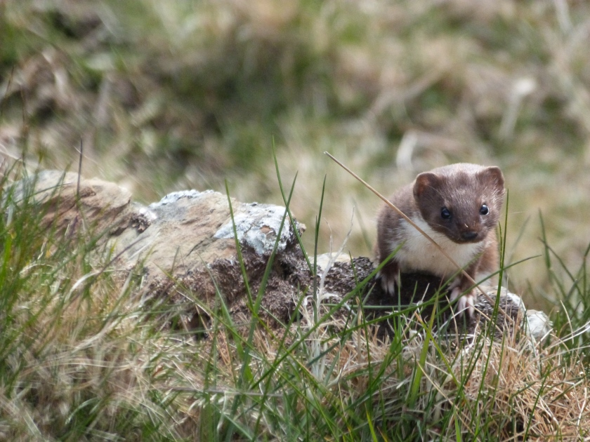 Weasel, Wick, Caithness